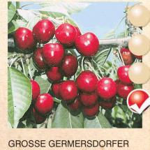 grosse germersdorfer tresnja-sadnice-agrokalemplod _14