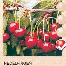 hedelfingen tresnja-sadnice-agrokalemplod _16