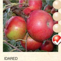 idared jabuka-sadnice-agrokalemplod_20
