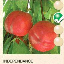 independance kajsija-sadnice-agrokalemplod_09
