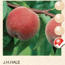 jh hale breskva-sadnice-agrokalemplod_11