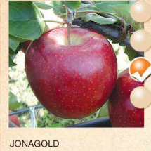 jonagold jabuka-sadnice-agrokalemplod_13