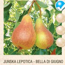 junska lepotica kruska-sadnice-agrokalemplod_03