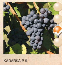 kadarka p 9 vinova-loza-sadnice-agrokalemplod_189
