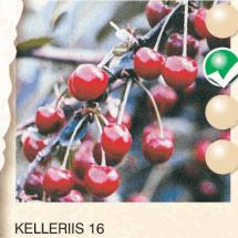 kelleriis 16 visnja-sadnice-agrokalemplod_4