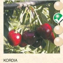 kordia tresnja-sadnice-agrokalemplod _10