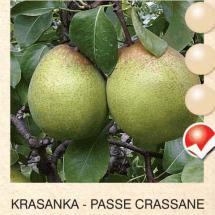 krasanka kruska-sadnice-agrokalemplod_06