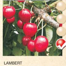 lambert tresnja-sadnice-agrokalemplod _08