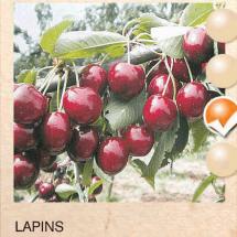 lapins tresnja-sadnice-agrokalemplod _13