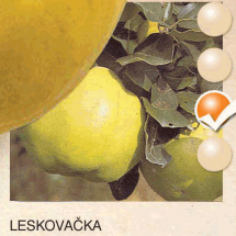 leskovacka dunja-sadnice-agrokalemplod_3