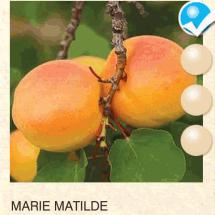 marie matilde kajsija-sadnice-agrokalemplod_07
