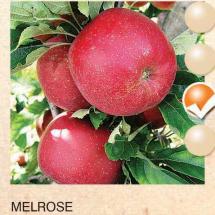 melrose jabuka-sadnice-agrokalemplod_08