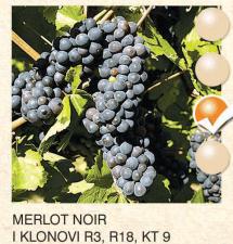 merlot noir vinova-loza-sadnice-agrokalemplod_157