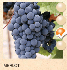 merlot vinova-loza-sadnice-agrokalemplod_193