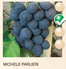 michele parlieri vinova-loza-sadnice-agrokalemplod_135