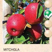 mitchgla jabuka-sadnice-agrokalemplod_16