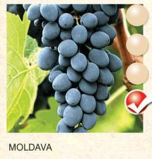 moldava vinova-loza-sadnice-agrokalemplod_131