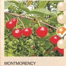 montmorency visnja-sadnice-agrokalemplod_3