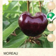 moreau tresnja-sadnice-agrokalemplod _03