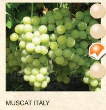 muscat italy vinova-loza-sadnice-agrokalemplod_163