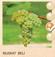 muskat beli vinova-loza-sadnice-agrokalemplod_195