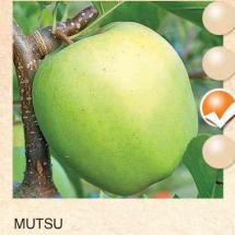 mutsu jabuka-sadnice-agrokalemplod_14