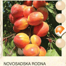 novosadska rodna kajsija-sadnice-agrokalemplod_15