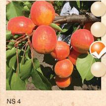 ns 4 kajsija-sadnice-agrokalemplod_11