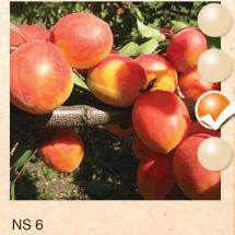 ns 6 kajsija-sadnice-agrokalemplod_12