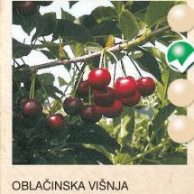 oblacinska visnja visnja-sadnice-agrokalemplod_1