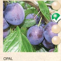opal sljiva-sadnice-agrokalemplod_06
