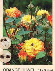 orange juwel ruza-mini-sadnice-agrokalemplod_19