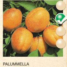 palummella kajsija-sadnice-agrokalemplod_08