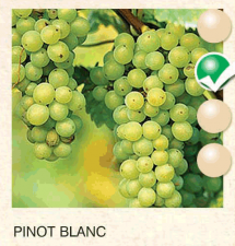 pinot blanc vinova-loza-sadnice-agrokalemplod_55