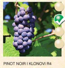 pinot noir vinova-loza-sadnice-agrokalemplod_159