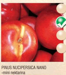 pinus nucipersica nano nektarina-sadnice-agrokalemplod_6