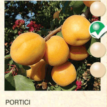 portici kajsija-sadnice-agrokalemplod_03