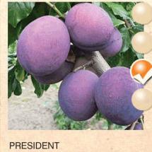 president sljiva-sadnice-agrokalemplod_03