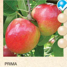 prima jabuka-sadnice-agrokalemplod_15