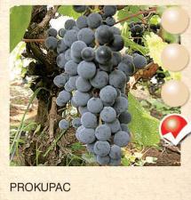 prokupac vinova-loza-sadnice-agrokalemplod_161