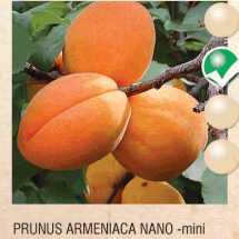 prunus armeniaca nano kajsija-sadnice-agrokalemplod_10