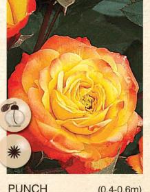 punch ruza-polijante-sadnice-agrokalemplod_41