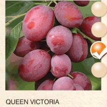 queen victoria sljiva-sadnice-agrokalemplod_11