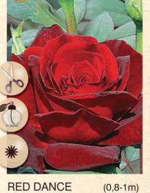 red dance ruza-cajevka-sadnice-agrokalemplod_59