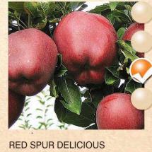red spur delicious jabuka-sadnice-agrokalemplod_10