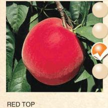 red top breskva-sadnice-agrokalemplod_12