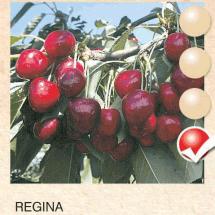 regina tresnja-sadnice-agrokalemplod _19