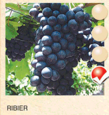 ribier vinova-loza-sadnice-agrokalemplod_95