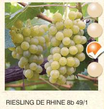 riesling de rhine vinova-loza-sadnice-agrokalemplod_89