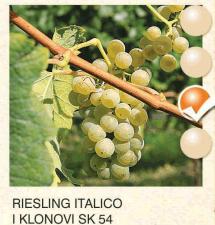 riesling italico vinova-loza-sadnice-agrokalemplod_91
